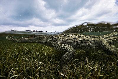 American crocodile (crodoylus acutus) in the shallows of Chinchorro Atoll, Mexico - p429m1181272 by Rodrigo Friscione