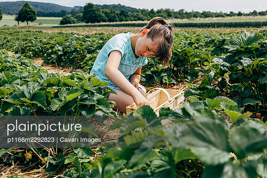Girl picking strawberries from a bush on a farm field - p1166m2292823 by Cavan Images