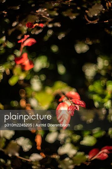 Red Hazelnut - p310m2245205 by Astrid Doerenbruch