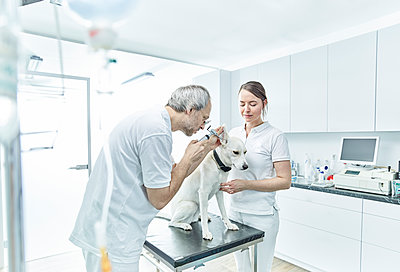 Veterinarian and his assistant examining ear of a dog - p300m1567830 by Christian Vorhofer