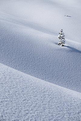 Little fir in winter - p335m1007700 by Andreas Körner