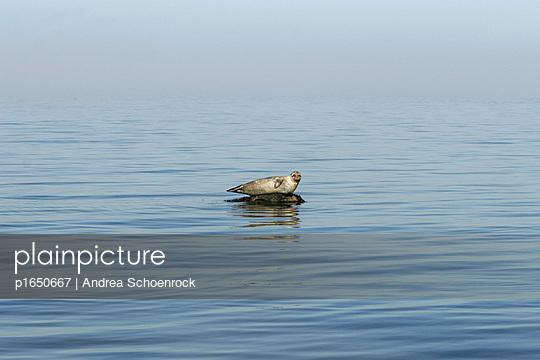 Einsamer Seehund - p1650667 von Andrea Schoenrock