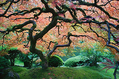 The Japanese Garden in Portland  - p555m1453479 by Spaces Images
