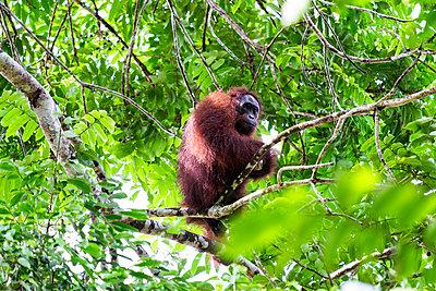 Orang Utan auf einem Baum - p842m1558879 von Renée Del Missier