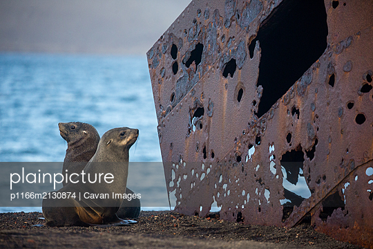 Fur seals and old ruins - p1166m2130874 by Cavan Images