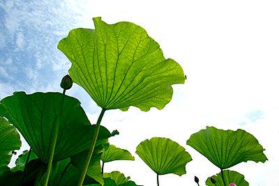 Lotus leaves - p307m974163f by Tetsuya Tanooka