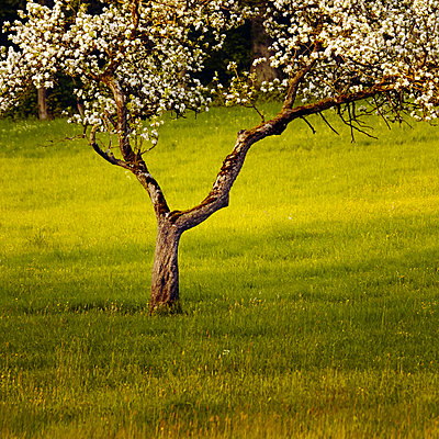 Blossoming trees - p844m1039484 by Markus Renner