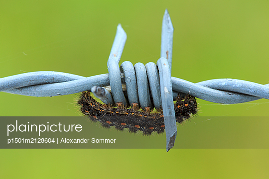 Caterpillar larva on barbed wire   - p1501m2128604 by Alexander Sommer