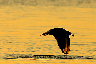 Germany, Mecklenburg-Western Pomerania, Seagull, Laridae, at sunset - p300m929903f by Hans Clausen