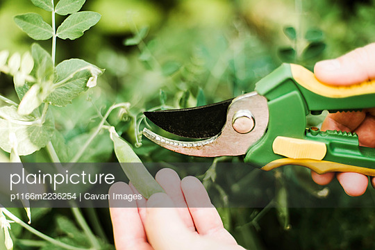 Woman's hand picking peas, close-up - p1166m2236254 by Cavan Images