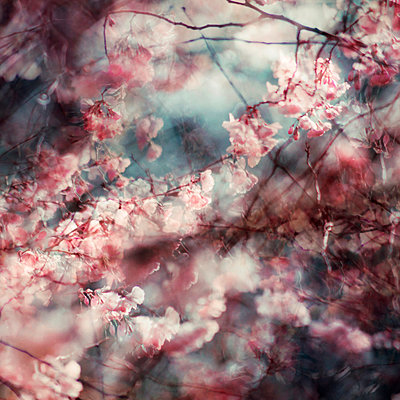 Branches and pink blossoms, multiple exposure - p1640m2245910 by Holly & John