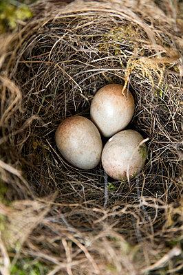 Vogeleier - p3050195 von Dirk Morla
