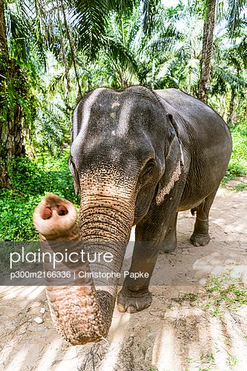 Elephant in sanctuary, Krabi, Thailand - p300m2166336 by Christophe Papke
