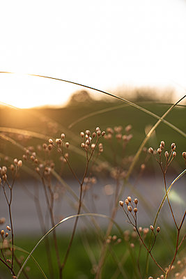 Evening light with grass - p310m2263861 by Astrid Doerenbruch