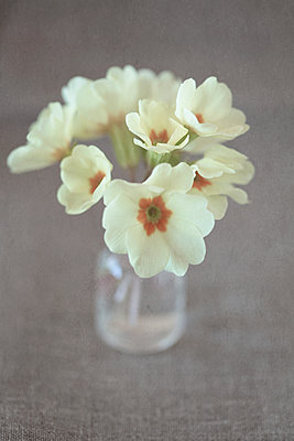 Primroses in tiny bottle - p1470m2030746 by julie davenport