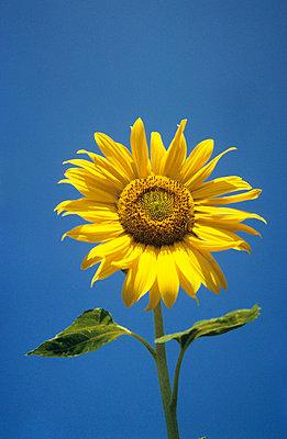 Sonnenblume mit Himmel - p2370104 von Thordis Rüggeberg