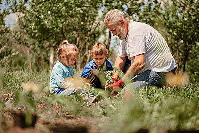 Grandchildren learning gardening with grandfather in back yard - p300m2282718 by Zeljko Dangubic