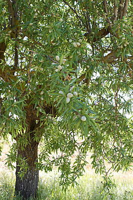 Almond tree - p7690028 by Nicolai Froehlich