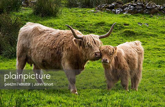 Highland Cattle And Calf; Highlands Scotland - p442m748689f by John Short