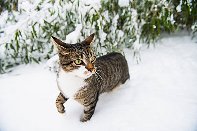 Housecat playing in the winter snow - p1166m2247114 by Cavan Images