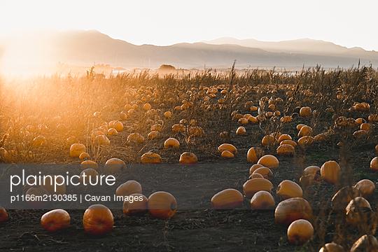 pumpkin field in Colorado at sunset - p1166m2130385 by Cavan Images