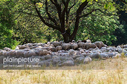 Schafherde - p417m1154837 von Pat Meise