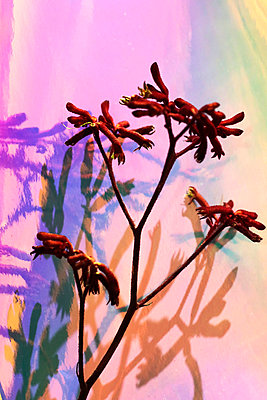 Känguruhblume - p1174m2244752 von lisameinen