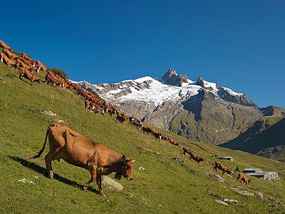 Kuhherde, Alpen - p1216m1025740 von Céleste Manet