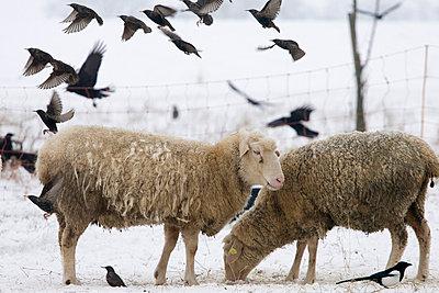 Schafe und Stare - p4170178 von Pat Meise