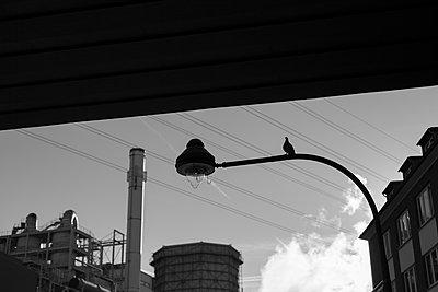 Taube auf Straßenlaterne - p1340m2027909 von Christoph Lodewick