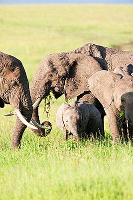 Group of african elephants - p533m1152712 by Böhm Monika