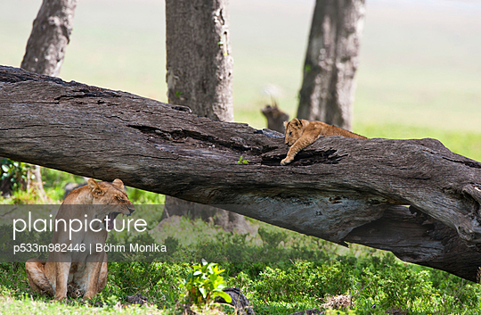 Löwenfamilie - p533m982446 von Böhm Monika