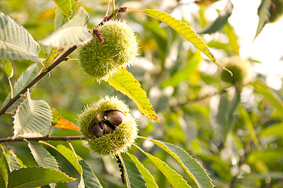 Chestnut - p4700060 by Ingrid Michel