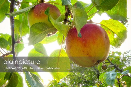 Äpfel an einem Apfelbaum - p1418m1571748 von Jan Håkan Dahlström