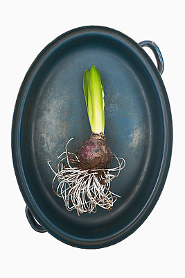 Hyacinth - p1149m952398 by Yvonne Röder