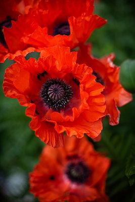 Red poppy - p310m2185919 by Astrid Doerenbruch