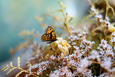 Dead butterfly on dried flowers - p388m877113 by Slaveng