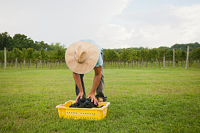 Caucasian farmer with crate of grapes in vineyard - p555m1454125 by Mark Edward Atkinson/Tracey Lee
