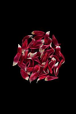 Tulpenblütenblätter - p647m1119951 von Tine Butter