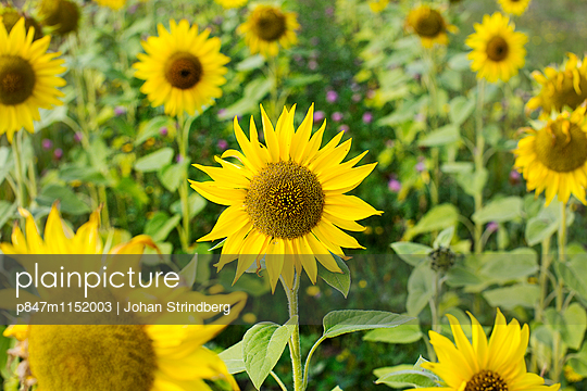 p847m1152003 von Johan Strindberg