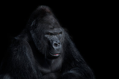 Portrait of gorilla in front of black background - p300m2029962 by Mark Johnson