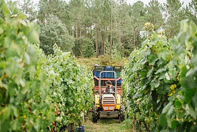 Farm tractor with harvested grapes in vineyard - p300m2140083 by Hernandez and Sorokina