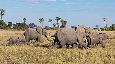 Botswana, Hunda Island, Okavango Delta. A herd of elephants on the move. - p652m1505135 by Nigel Pavitt