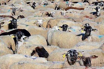 Herd of sheep - p813m857012 by B.Jaubert