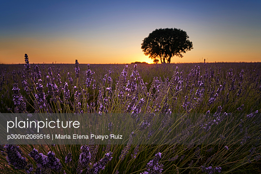 France, Provence, Lavender fields at sunset - p300m2069516 by Maria Elena Pueyo Ruiz