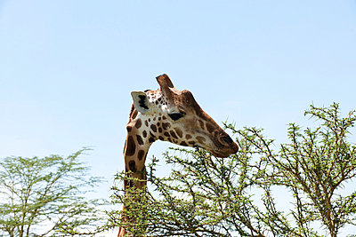 Giraffe in Nakuru; Kenya - p5330378 by Böhm Monika