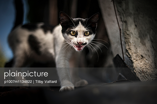 Cat meowing - p1007m1134822 by Tilby Vattard
