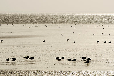 Birds on the mudflats of the Wadden sea - p1144m944014 by Nico van  Kappel