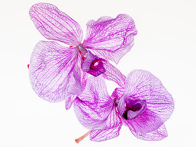 Orchid flowers - p401m2193036 by Frank Baquet