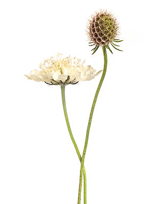 Cream Scabiosa, Scabiosa ochroleuca, Bloom and Seed Pod against White Background - p694m2068263 by Lori Adams